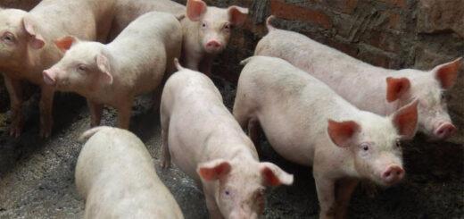 Des porcs d'une ferme du comté de Yunyang, en Chine, le 14 juillet 2019. © CHEN JIANHUA / IMAGINECHINA / AFP