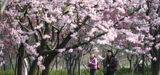 Le 13 mars, des touristes prennent des photos dans le parc des fleurs de cerisier au site touristique de Donghu, à Wuhan, dans la province du Hubei. © Xinhua