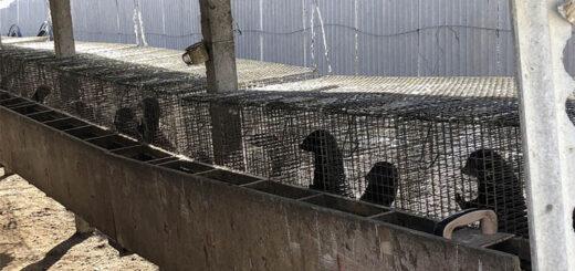 Images prises en novembre et décembre 2020 en Chine dans un élevage intensif de visons. © Humane society international / Reporterre