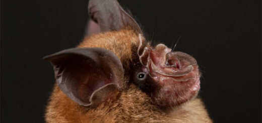 The latest research on bats by Chinese researchers focused on samples collected from over 13,000 bats from 56 species across 14 provinces since 2016. © Guangdong Entomological Institute/South China Institute of Endangered Animals